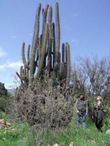 Cactus centenario.