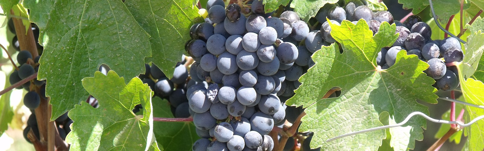 Cluster-of-grapes-at-Santa-Cruz12