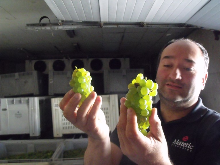 Matetic winemaker Julio Bastías holds up freshly harvested Sauvignon Blanc grapes