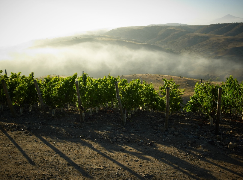 Morning fog makes all the difference in these vineyards. (Photo courtesy of Viña Tabalí).