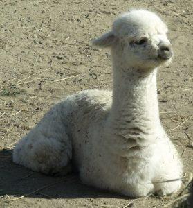 Baby alpaca a Viña Emiliana