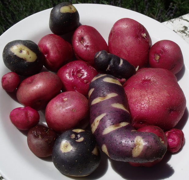 Potatoes from the chilean island of Chiloé