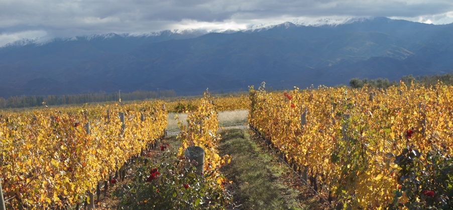 Autumnal vines in Mendoza
