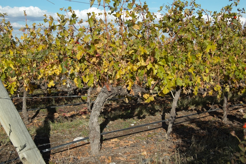 Mendoza: trained vines at Salentein
