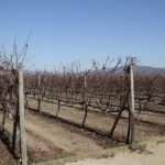 Vines in winter before pruning