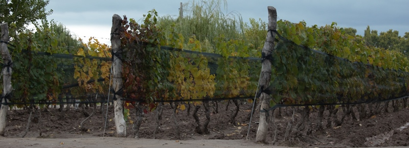 Mendoza: netting to protect vines from hail