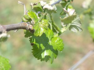 Vine unfurling its leaves in spring.