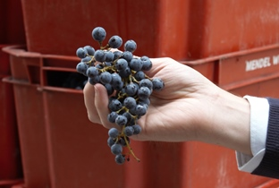How Cabernet Sauvignon wine is made