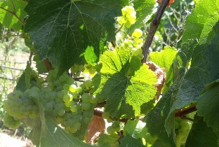 5 reasons for rediscovering Chardonnay