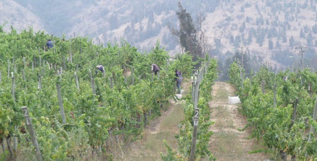Harvest at Casa Marín