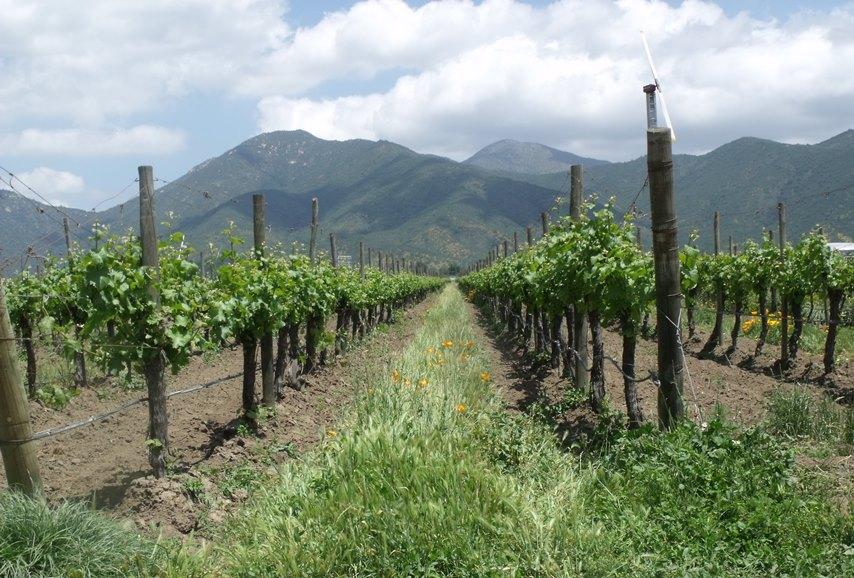 Vines at Emiliana