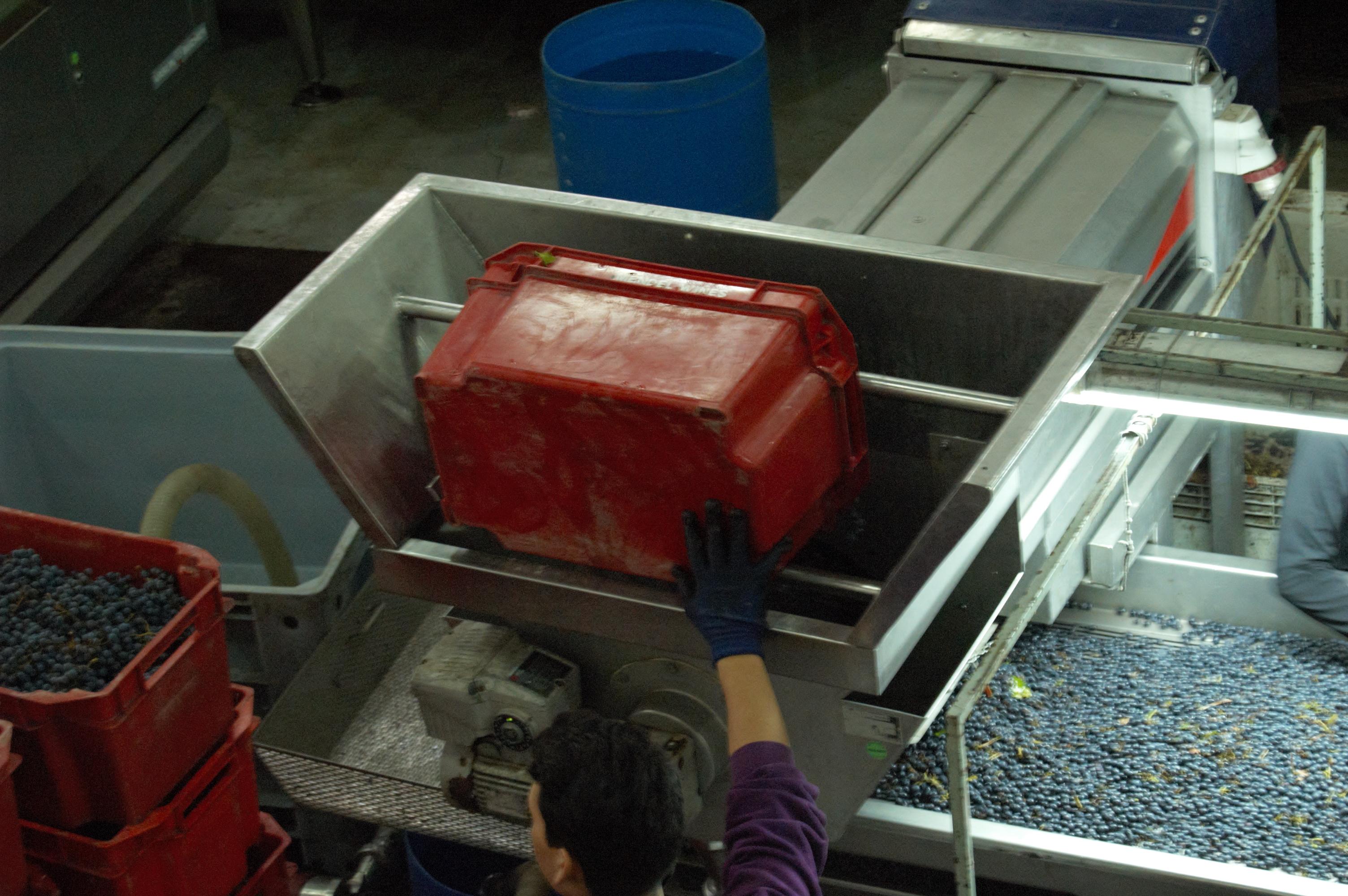 The grapes go into the destemmer