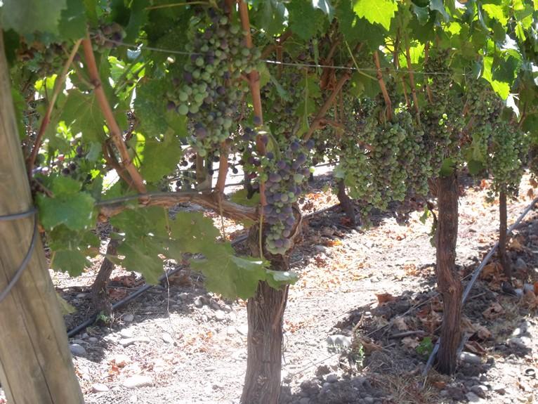 Véraison in the Carménère vines